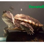 In custody: suspect who killed a pet turtle during burglary
