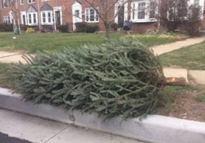 Change in Christmas tree collection in Baltimore County